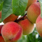 Nectarinas, melocotones y fresquillas: ¿en qué se diferencian y qué propiedades tienen?