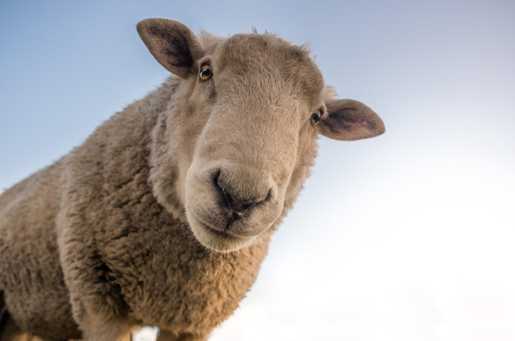 pastoreo extensible leche de oveja